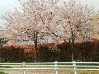 桜2014.jpg